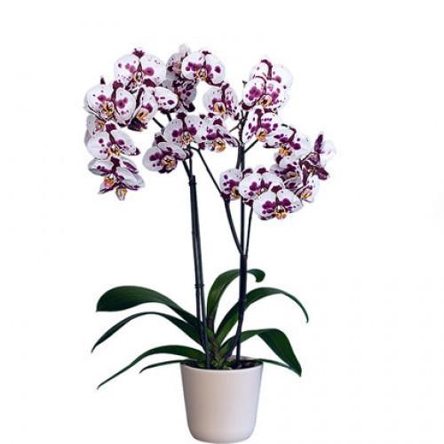 Купить на заказ Заказать Орхидея микс. с доставкой по Алматы с доставкой в Алматы